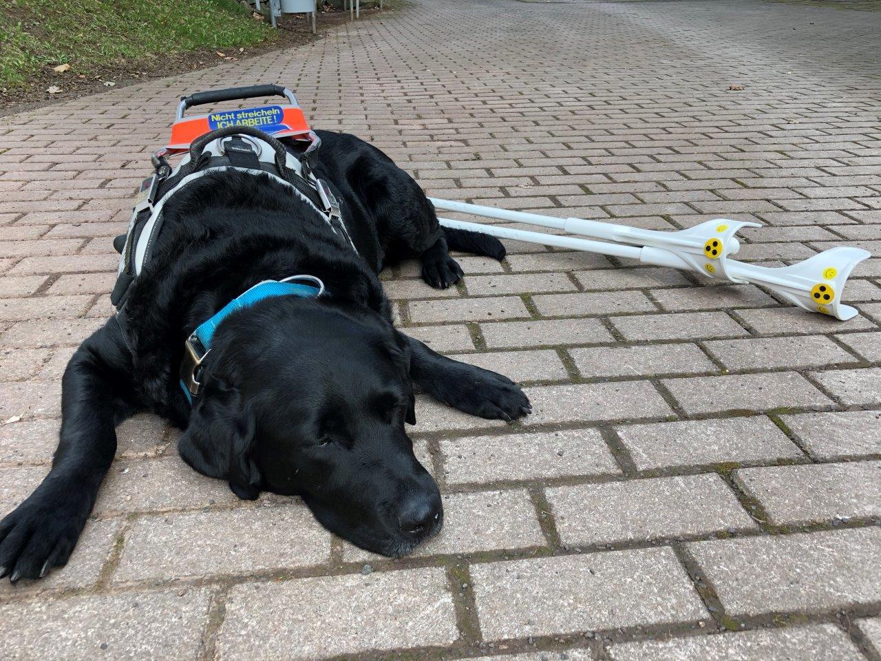Auf einem gepflasterten Weg liegt der Blindenführhund von Heike, welcher eingeschirrt ist. Hinter dem Hund sind zwei Unterarmgehstützen am Boden abgelegt.